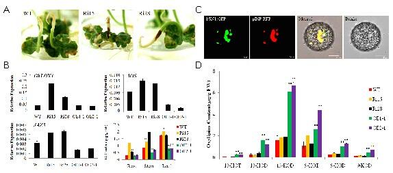 其中 ghfmo1基因(es844424)表达增强促进了活性氧的增加,但转基因植株图片