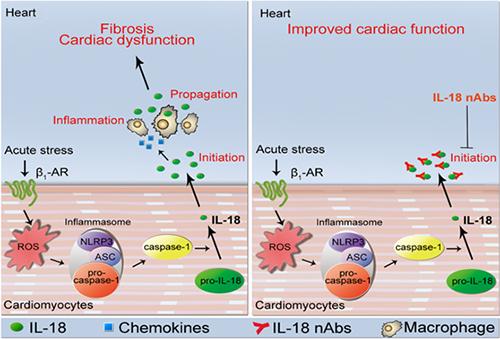 人体写真囹�a��)��'�il�f�x�~�;�K�>j�x��Y��&����/��7��_值得注意的是,抑制il-18活性只选择性地抑制有害的炎症反应而不像β