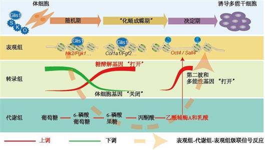 """多能干细胞命运调控的""""表观组—代谢组—表观组""""跨界""""蝴蝶效应"""""""