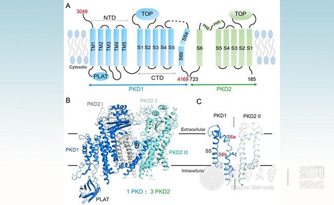 人源pkd1和pkd2蛋白的拓扑结构示意图 b.
